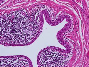 Mamalis Cellular Histo 01 unlabeled