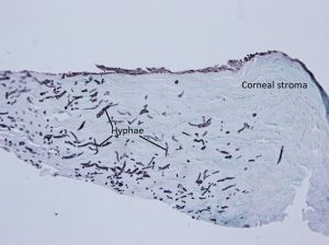 Mamalis Cellular Histo 21 labeled