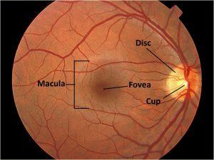 Mamalis Normal Eye 38